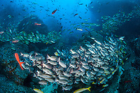 Reef Fish, mostly Snappers, congregate by the hundreds<br /> <br /> <br /> Shot at Cocos Island, Costa Rica