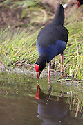 Pukeko at Pauatahanui Wildlife Reserve, Wellington, New Zealand