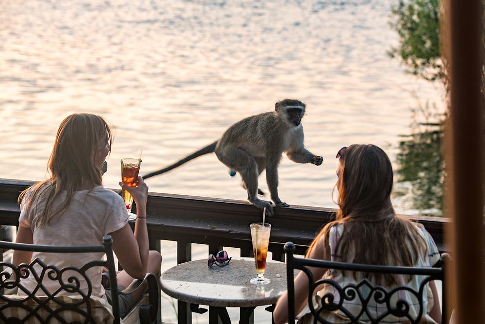 Two women on Zambezi River enjoy drinks as a Vervet monkey approaches them on the sundeck of the Royal Livingston Hotel Livingstone, Zambia