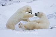 01874-11319 Polar Bears (Ursus maritimus) sparring, Churchill Wildlife Management Area MB