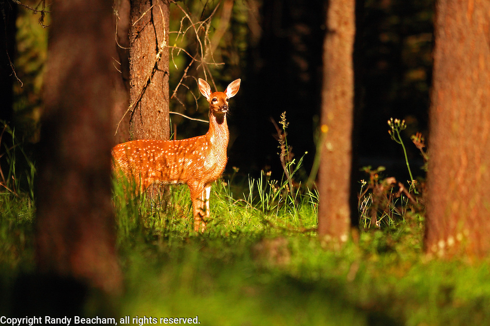 Whitetail fawn in a lodgepole pine forest. Yaak Valley Montana