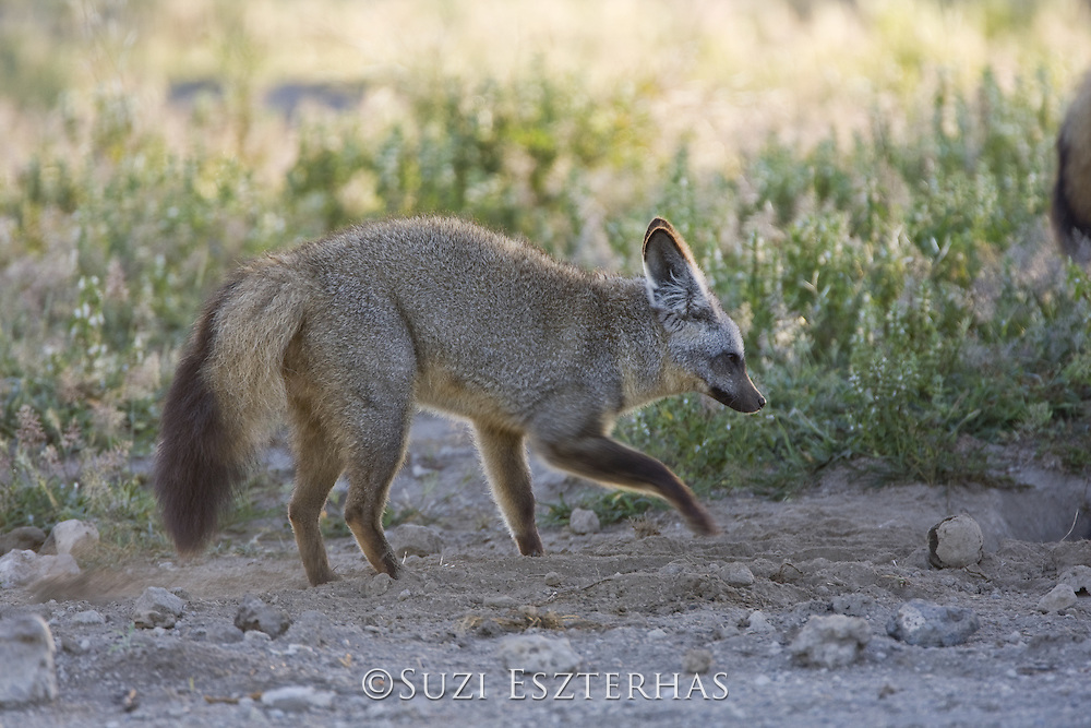 Bat-eared fox<br /> Otocyon megalotis<br /> Digging for termites and dung beetle larvae <br /> Ngorongoro Conservation Area, Tanzania