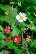 WILD STRAWBERRY Fragaria vesca (Rosaceae) Height to 30cm. Low perennial with long, rooting runners. Found in dry, grass places. FLOWERS are 12-18mm across with 5 white petals (Apr-Jul). FRUITS are tiny strawberries. LEAVES comprise 3 oval, toothed leaflets that are hairy beneath; the terminal tooth of end leaflet is usually longer than adjacent ones. STATUS-Widespread and common.