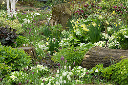 Primula vulgaris, Erythronium 'Pagoda' and Fritillaria meleagris growing with hellebores and daffodils in John Massey's dell garden
