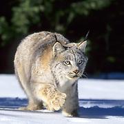 Canada Lynx, (Lynx canadensis) Adult stalking. Rocky mountains. Montana. Winter. Captive Animal.