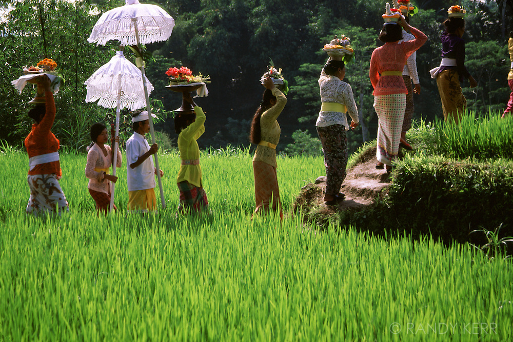 Balinese procession through rice fields