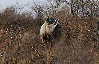 Namibia Black Rhinoceros standing amongst bushes