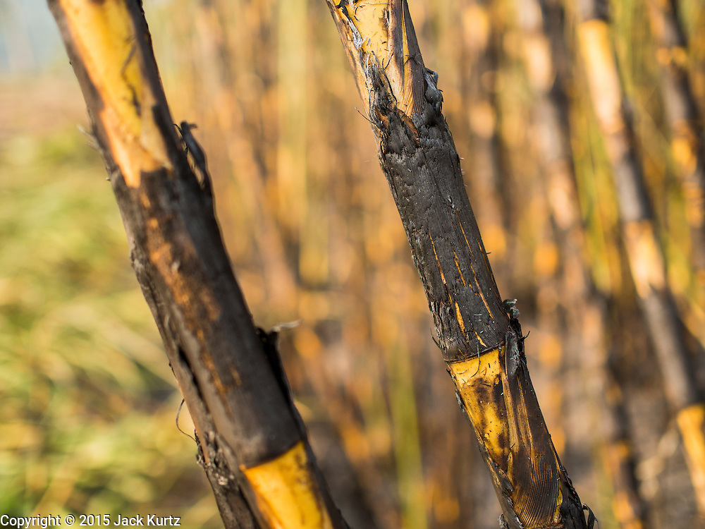 09 FEBRUARY 2015 - THA MAI, KANCHANABURI, THAILAND: Scorched sugarcane ready to be harvested in Kanchanaburi, Thailand. Workers they burn weeds and loose chaff out of the field before going through it with machetes and scythes to cut the stalks of sugarcane. Thailand is the world's second leading sugar exporter after Brazil. The 2015 sugarcane harvest in Thailand is expected to fall about 5% compared to the 2014 harvest because of a continuing drought in Southeast Asia. Brazilian production is also expected to fall this year because of ongoing drought in Brazil. Australia, the number 3 sugar exporter, is also expected to see a smaller harvest this year because of continuing draught in Australia.   PHOTO BY JACK KURTZ