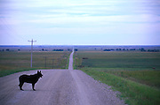 Dog on the road- dirt road in Minnisota.