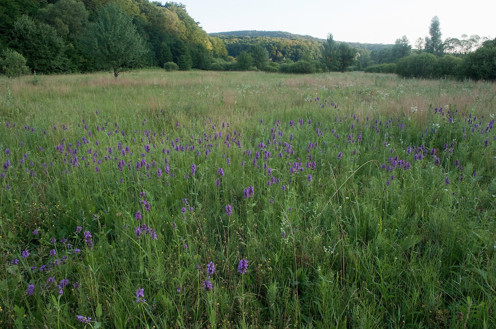 Betony (Stachys sp) field in Codrii National park, Central Moldova