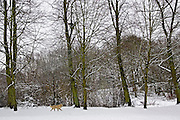 Golden Retriever dog on a winter's day in snow-covered Hampstead Heath, North London, United Kingdom
