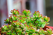 Close up of the lush green leafs with red tip of a succulent plant