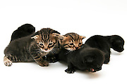 five one week old kittens on white background