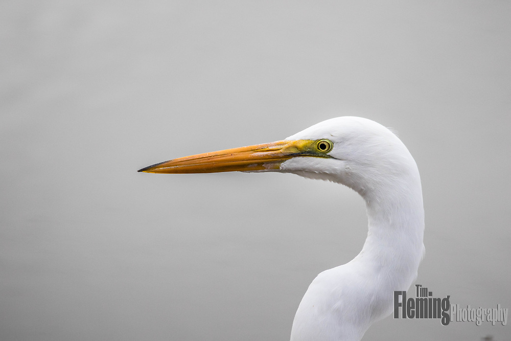 Profile of a great egret