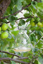Glass wasp trap hanging in an apple tree