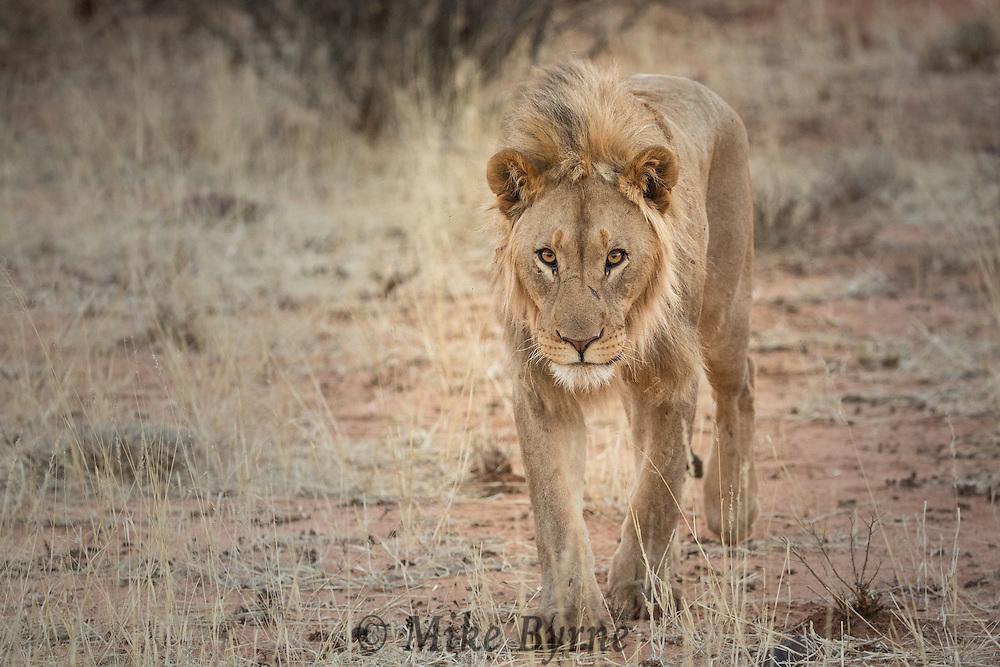 Lion in Erindi, Namibia.
