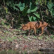 The endangered Asian Wild Dog or Dhole (Cuon alpinus) at Khao Yai National Park, Thailand.