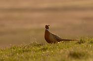 Ringnecked Pheasants during the spring mating season in prairie habitat