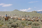 Cowboys and cattle drive guests herd roughly 400 head of  cattle through the sagebrush 100 miles over 5 days into Reno during the annual Reno Rodeo cattle drive which brings the livestock for use in the rodeo into town.