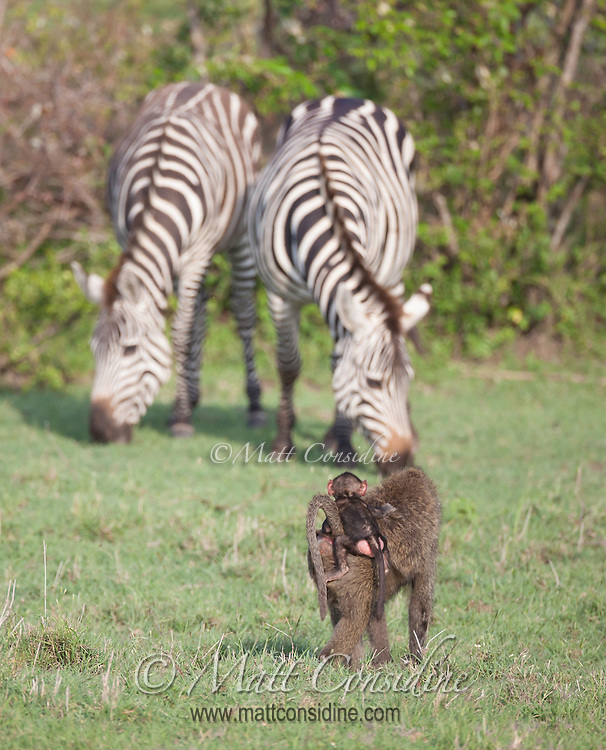 Adult female baboon with a young baby clinging to her back standing watching a pair of plains zebra grazing in the Masai Mara Reserve, Kenya, Africa (photo by Wildlife Photographer Matt Considine)