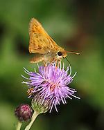 Tiny Butterfly On A Purple Flower, Skipper, Family Hesperiidae
