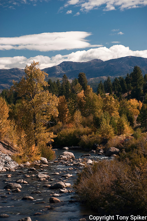 """Fall Along the Truckee River 3"" - A photograph of fall Aspen trees near their peak along the Truckee River."