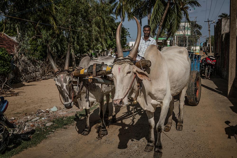 Oxen cart leaves a Ganesh Chaturthi festival in the coastal village of Tiruchchepuram.  Tamil Nadu, India