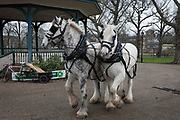 Members of Operation Centaur lead Shire horses Nobby and Heath before they plough an on-going heritage wheat-growing area in Ruskin Park, a public green space in the borough of Southwark, on 9th February 2018, in London, England. The Friends of Ruskin Park are again growing heritage wheat and crops together with the Friends of Brixton Windmill and Brockwell Bake Association. Shire horses are descended from the medieval warhorse but are a breed under threat. Operation Centaur, which maintains the last working herd of Shires in London is dedicated to the protection and survival of the breed. It is an organization set up to promote the relevance of the horse as a contemporary working animal in partnership with humans. This takes the form of heritage skills in conservation and agriculture, transportation, discovery, learning and therapy.