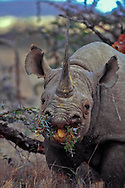 Black rhino, eating thorn bush (acacia) Diceros bicornis, one of the most endangered large mammals. Less than 3600 left across Africa.