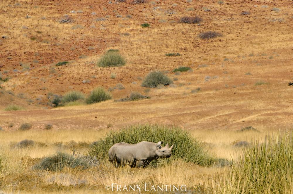 Desert black rhino, Diceros bicornis, Palmwag, Torra Conservancy, Damaraland, Namibia