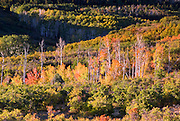 Line of colorful aspens in the valley below the Dallas Divide.  Shot early morning