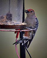 Red-bellied Woodpecker at the Bird Feeder. Image taken with a Nikon D5 camera and 600 mm f/4 VR telephoto lens.