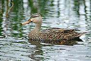 Mottled Duck - Anas fulvigula - female
