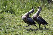 Male Abyssinian Geese compete at dancing at the London Wetland Centre, Barnes, London