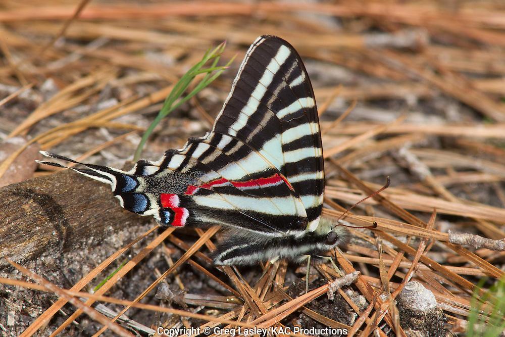 Zebra Swallowtail.Eurytides marcellus.Angelina National Forest,.near Jasper,.Jasper Co., Texas.23 March 2010