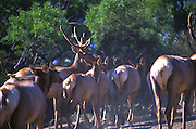A heard of Elk moves along at the Oakland zoo. 1999