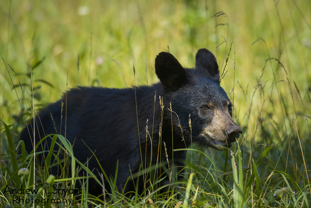 A young black bear in an open field in the Great Smoky Mountains.