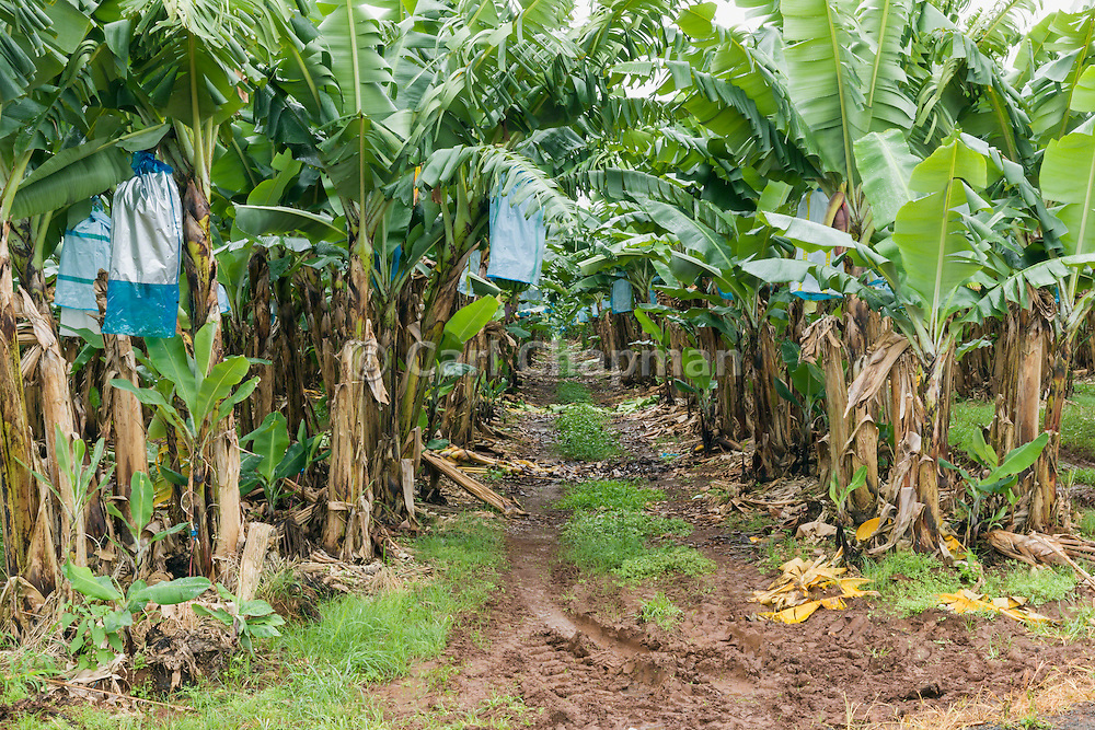 Dirt track through banana tree plantation in tropical Far North Queensland, Australia <br /> <br /> Editions:- Open Edition Print / Stock Image