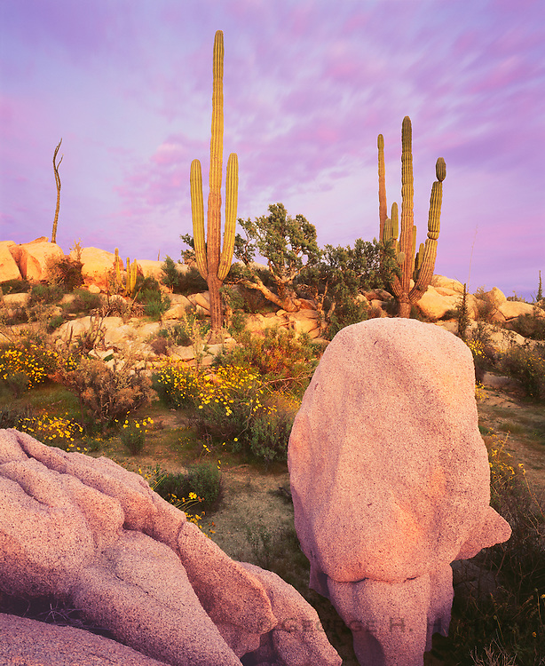 6104-1014 ~ Copyright: George H. H. Huey ~ Cardon cactus with elephant trees, boojum tree and yellow flowering brittlebush. Sunset, Catavina Boulder Field. Baja California, Mexico.