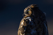 Stock photo of a owl captured in Colorado.  Great horned owls usually lay between one to five eggs in abandoned hawks or crows nests.