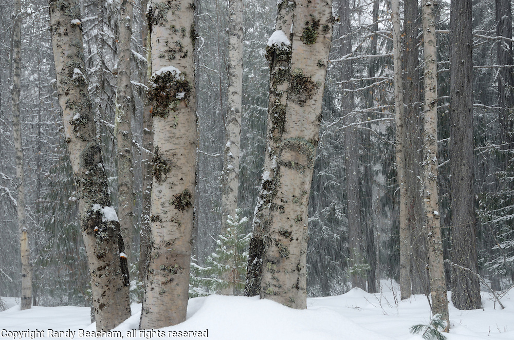 Birch trees during winter 2017 snowstorm by McDonald Lake. Glacier National Park,northwest Montana.