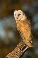 Barn Owl (Tyto Alba) adult perched on dead tree stump, Norfolk, UK.
