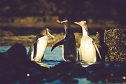 A trio of endangered yellow-eyed penguins socialize before heading out to the ocean for a day of hunting and feeding.  Curio Bay, New Zealand.