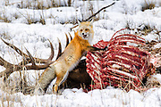 A Red Fox checking the status of a nearby (and sleeping) Coyote while it feeds on an Elk carcass in Yellowstone National Park