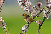 Palm warbler (Setophaga palmarum) in Nanking cherry<br />