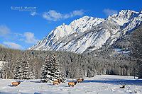 A herd of bull elk feeds in Hillsdale Meadows on a beautiful winter blue sky day below Mount Ishbel in Banff National Park in the Canadian Rocky Mountains, Alberta, Canada.  Elk are one of the wildlife species most commonly seen in Banff and Jasper and the mountain parks.