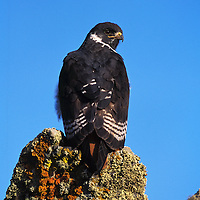Augur buzzard  Bale mountains Ethiopia
