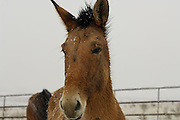 Mule, Salmon, Idaho