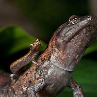 Arboreal salamanders, Bolitoglossa dofleini and Bolitoglossa rufescens, the smallest and largest salamanders in Central America