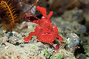A frogfish moves down a slope using its foot-like pectoral fins.  In motion the frogfish almost waddles along the substrate.  This species has the ability to alter its colour to either white, red, yellow, black, pink and brown.  Grows to an approximate length of 16 cm